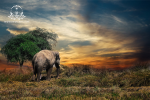 Khasiat Mani Gajah yang Bikin Kaget Karena Mendekatkan Jodoh yang Tak Terduga